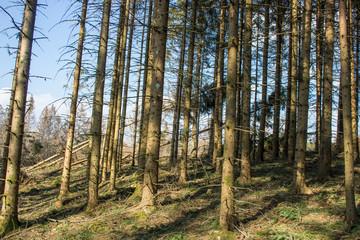 Tannen im Hotzenwald