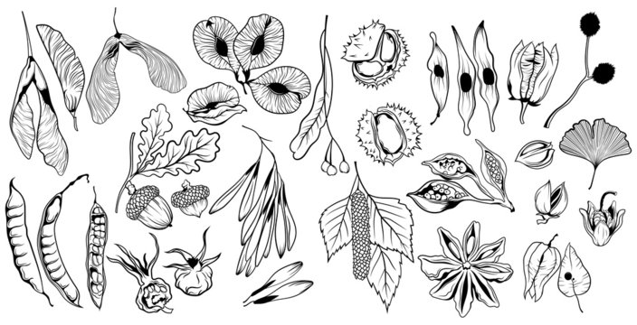 Set of seeds from trees. Collection of fruits of oak, chestnut, and dry leaves. Set of materials for autumn Ekibana. Vector illustration for children.