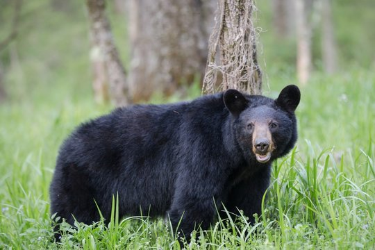 Adult black bear in Cades Cove Valley Great Smokey Mountains National Park in Tennessee