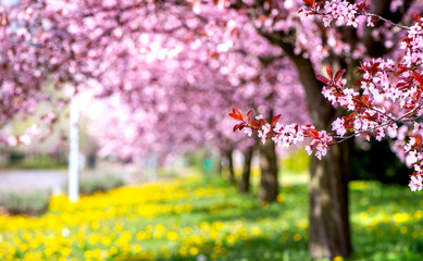 Spring background - beautiful alley with pink cherry blossom trees and yellow dandelion