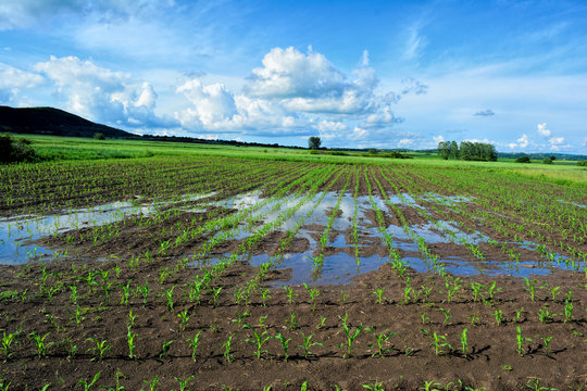 Young corn field after heavy late spring rain