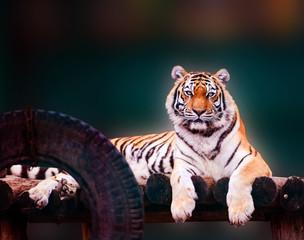Wall Mural - Beautiful amur tiger portrait. Dangerous animal