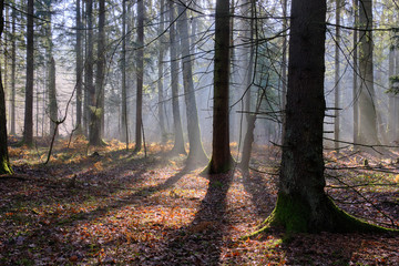 Fototapete - Sunbeam entering mixed forest stand