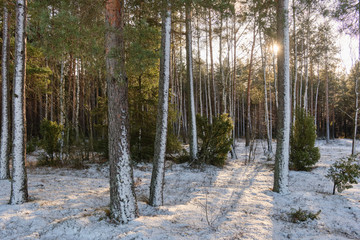 Fototapete - Wintertime morning in scotch pine coniferous forest