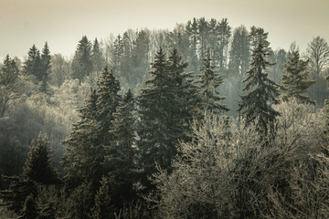 Keuken foto achterwand Khaki Beautiful winter forest landscape view with pines. Vintage and retro style. Mystery forest