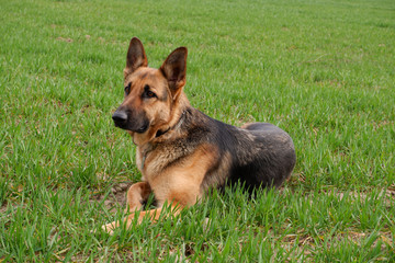 Poster Dog Pure breed champion German shepherd dog in show stand on green grass