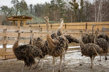 Ostrich, a flock of ostriches on an ostrich farm