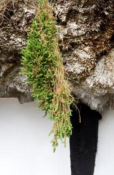 Laesoe / Denmark: Sedum plant on a seaweed roof of an old half-timbered farmhouse