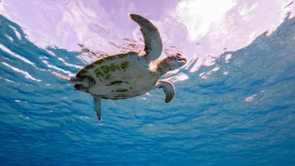 Green Sea Turtle swim in turquoise water of coral reef - Caribbean Sea / Curacao