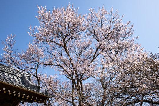 お寺に咲く枝垂れ桜