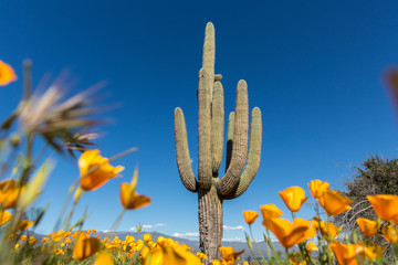 Aluminium Prints Cactus Saguaro cactus surrounded by orange poppies flowers in the desert
