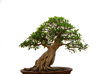 Foto op Canvas Bonsai bonsai tree isolated on white