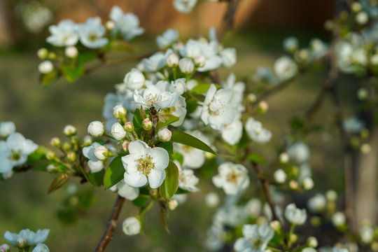 Pear tree blossoms during spring season