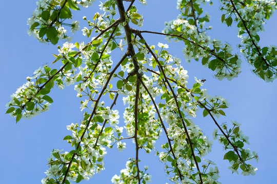 Blooming pear tree branches along clear blue sky background