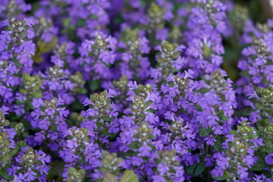 Closeup of Ajuga groundcover blooming during spring season