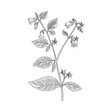 vector drawing belladonna