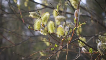 Wall Mural - abstract spring background with the flowering willow buds on a branches close up and defocused spring forest background