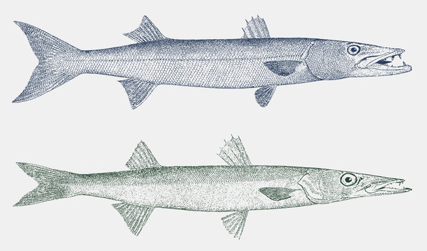 Great barracuda sphyraena and northern sennet sphyraena borealis in side view