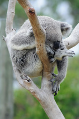 sleepy koala sleeping in the fork of a gum tree branch