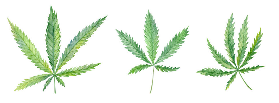 3 branches different types of Cannabis (sativa, indica). Medicinal plant Marijuana with leaves. Watercolor hand drawn painting illustration isolated on white background isolated on a white background.