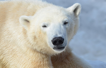 Printed roller blinds Polar bear polar bear