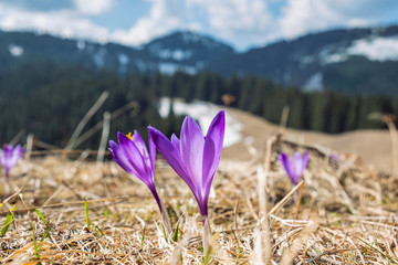 Photo sur cadre textile Crocus Blooming crocus flowers, springtime