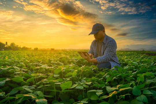 Farmer using smartphone in mung bean garden with light shines sunset, modern technology application in agricultural growing activity concept