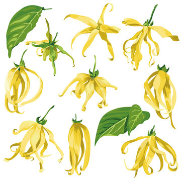 ylang ylang vector clip art set of tropical botanical illustrations. Yellow wild flowers with green leaves.