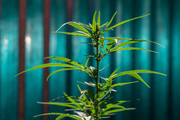 Young cannabis plant on a striped fantasy background. Selective focus.