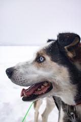 Schlittenhund Finnland