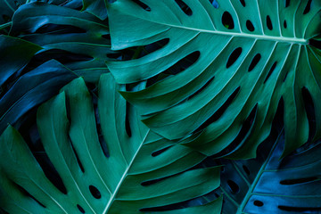 Wall Mural - closeup green monstera leaf background, tropical leaf, abstract green leaf texture