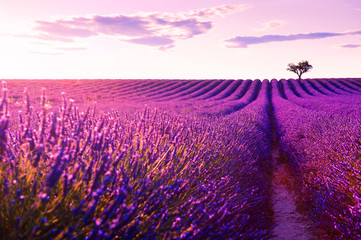 Fotorollo Rosa hell Lavender fields at sunset near Valensole, Provence, France. Beautiful summer landscape.