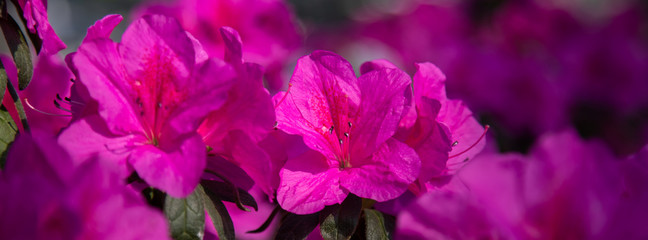 Banner azalea flowers have bloomed.