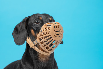Portrait of a cute Dachshund dog, black and tan, wears a black muzzle on a blue background. Pet safety. Copy space. Wall mural