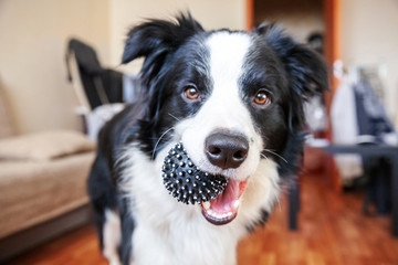 Funny portrait of cute smilling puppy dog border collie holding toy ball in mouth. New lovely member of family little dog at home playing with owner. Pet care and animals concept.