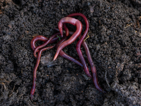 Californian red worm on top of compost pile.