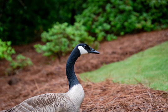 Canadian Goose walking up a garden slope in Marietta Georgia.