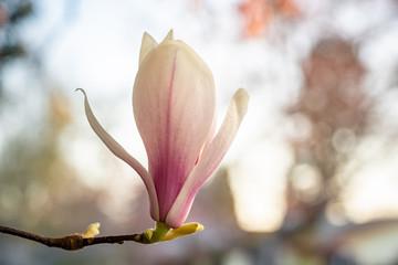 Poster Magnolia Pink spring flowering magnolia