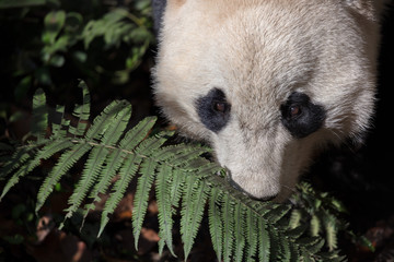 Fotomurales - Photograph of Panda Bear in Bifengxia nature reserve, Sichuan Province China. Protected Species, Cute Young Male Fluffy Panda enjoying nature. Chinese Wildlife