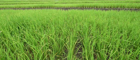 Autocollant pour porte Les champs de riz Green terraced rice fields in northern Thailand