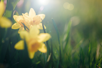 Beautiful yellow spring narcissus flowers on a green lawn in sunlight. Easter scenery.