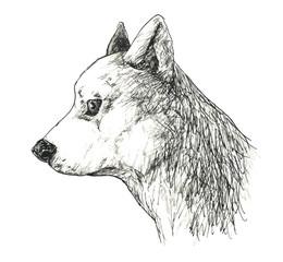 日本犬ー横顔
