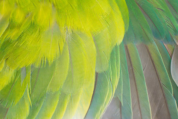 Photo sur Toile Perroquets Close up beautiful wing parrot lovebird feather texture pattern background