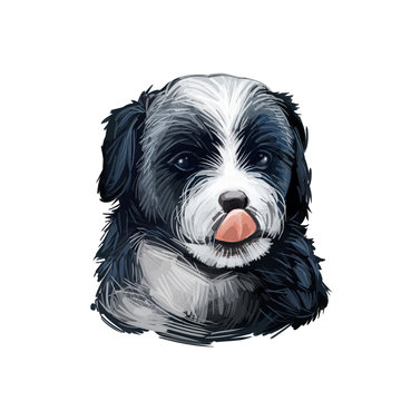 Bernedoodle Dog cross breed of Bernese Mountain Dog and poodle isolated on white