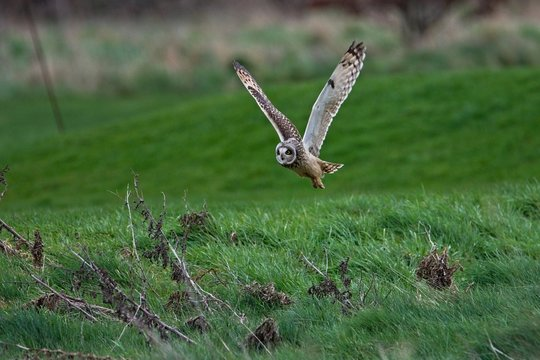 short-eared owl flying over a field