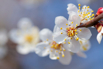 Wall Mural - Macro blooming flower on an apricot tree