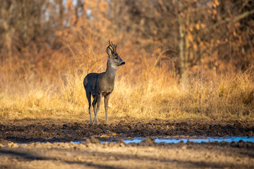 Male roe deer (roebuck) in the forest, early spring time