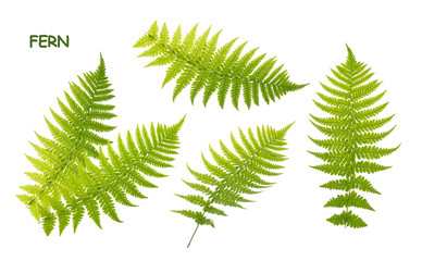 Fern leaves isolated on white with clipping path