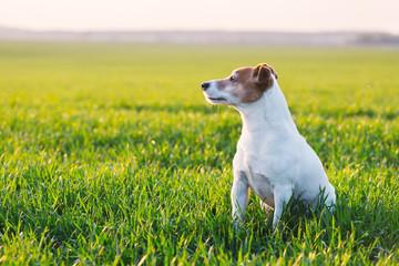Jack russel terrier on green field. Happy Dog with serious gaze Fotobehang