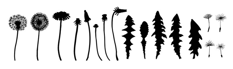 Dandelion flowers, seeds and leaves set. Ink silhouette drawing. Botanical illustration. Meadow or field grass. Vector